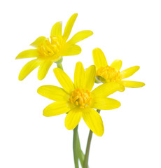 Three  early spring flowers isolated on white background. Kingcup