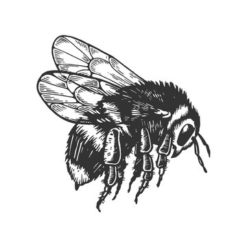 bumblebee insect animal engraving vector illustration. Scratch board style imitation. Black and white hand drawn image.