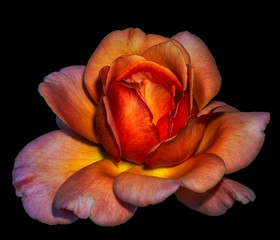 Colorful fine art still life floral macro flower portrait of a single isolated orange wide open rose blossom, black background,detailed texture,surrealistic vintage painting style