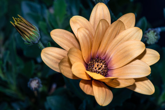 Fine art still life flower bright color vintage image of a wide open golden yellow shimmering african cape daisy / marguerite blossom with bud on blurred green natural background