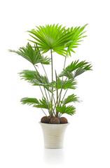 Livistona palm tree