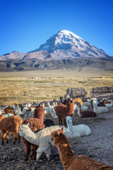 Alpacas farm, Sajama volcano in the background, in Bolivia