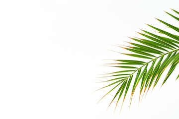 Close up of single green palm leaf isolated on white background, fresh exotic tree foliage, One plant leaf. Vacation and holiday concept. Copy spase, background, crop shot.