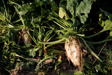 Sugar beets are seen during harvest in a field in Tilloy-lez-Cambrai