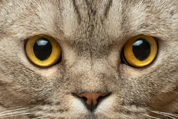 Yellow eyes of an adult British cat close-up Wall mural