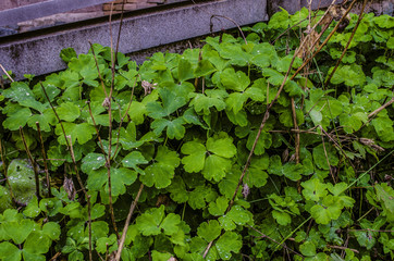 Landscape design with bright green leaves of Oxalis, covered with dew, next to the footpath