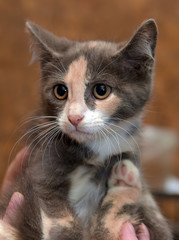 three-colored kitten in hands