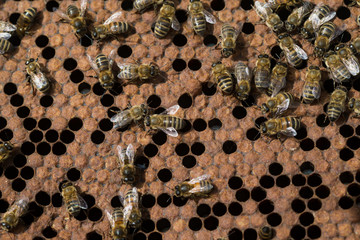 Swarm of bees on honeycomb in apiary. Working bee on honey cells. Apiculture.