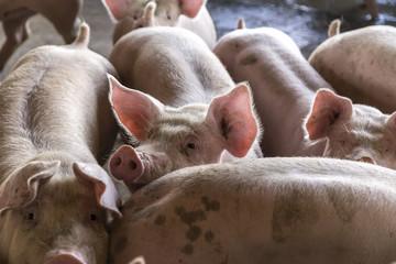 suinocultura suínos granja