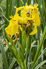 Yellow flower Iris, Water Flag (Iris pseudacorus) with leaves in the natural environment