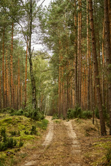 sandy road in a beautiful green pine forest in the summer