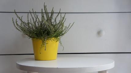 Fototapeta doniczka kwiat wrzos obraz