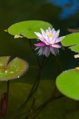 nymphaea alba - flower