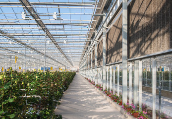 large industrial greenhouse with Dutch roses, the overall plan