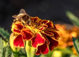 pszczoła na aksamitce zbiera nektar