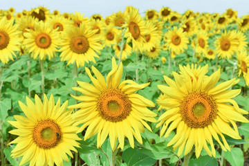 GROUP OF THEE SUNFLOWERS IN FRONT OF A COUNTRY PLENTY OF SUNFLOWERS WITH SOME BEES POLLINATING THEM