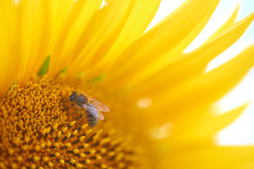 bee collects pollen on a sunflower