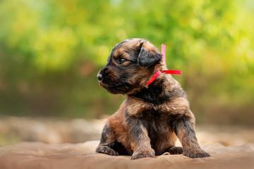 Briard dog cute little puppy portrait sitting
