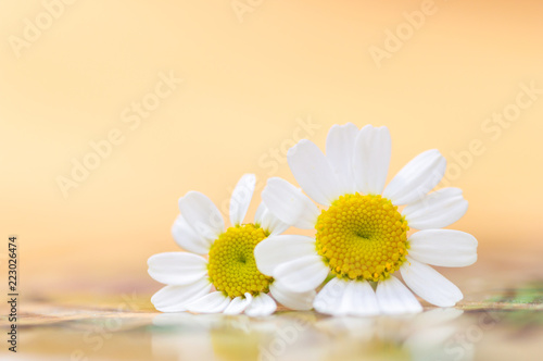 Feverfew Flowers Close Up Detail Of Two Daisy Like Flowers With A