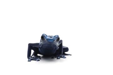 Blue poison dart frog isolated on white background