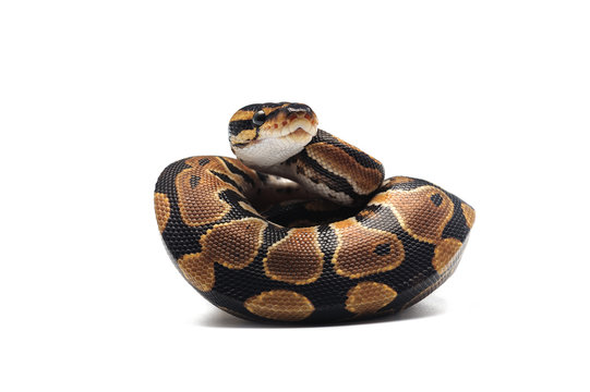 ball python isolated on white background