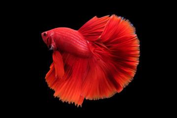 Betta Fish