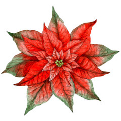 Poinsettia isolated on white background. Watercolor poinsettia. Clip art.