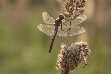 Dragonfly on the grass in the sunset on an autumn evening. Close-up.