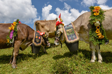 Decorated cow on the annual transhumance at Engstlenalp on Switzerland