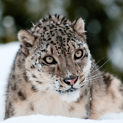 Wall Mural - Snow Leopard Portrait