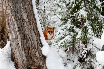 Wall Mural - Fox Behind Tree