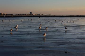 Nieuwpoort Strand Möwen am Abend