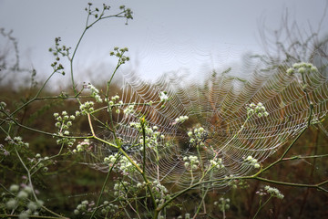 Cobweb with spider, covered with drops from the early morning mist