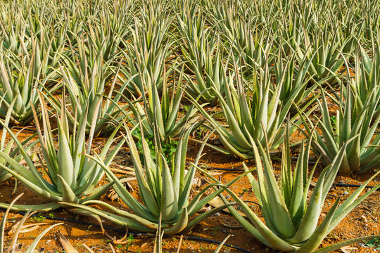 Aloe Vera pharmaceutical plant cultivation. Herbal medical plant field in the Mediterranean island of Crete, Greece