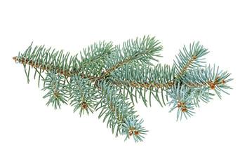 Blue spruce twig isolated on white background, closeup.