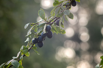 fruits of plums on a tree branch