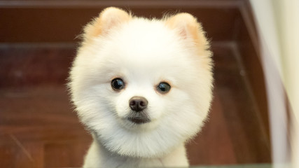 pomeranian dogs, dogs  close up