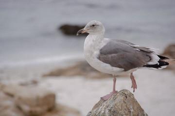 Waddling Seagull