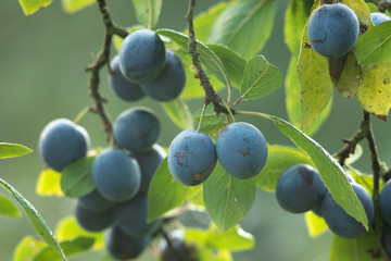 fresh fruits of plums on a tree branch.