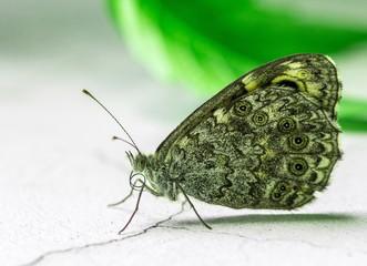 szary motyl w kropki na białym tle