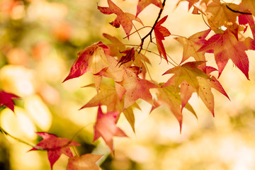 The colorful and beautiful maple autumn leaves