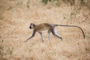 Monkey on Safari in Tanzania