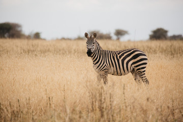 Zebra on Safari in Tanzania
