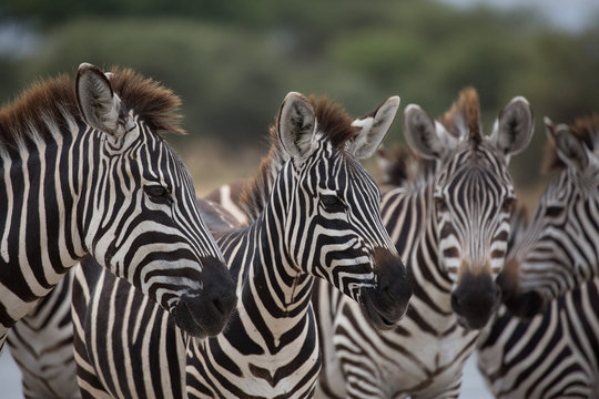 Pack of Zebras on Safari in Tanzania