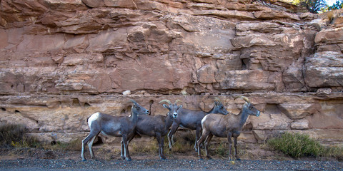 Four Bighorn Sheep graze between Rim Rock Drive and a cliff in Colorado National Monument near Grand Junction