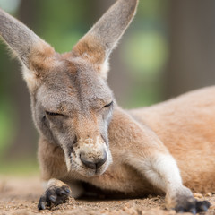 Ground level closeup about resting kangaroo in square format