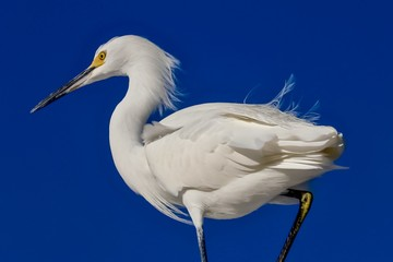Snowy Egret perched on a branch in Florida