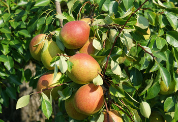 colorful pears on the tree in harvest season