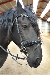 Friesian horse portrait .