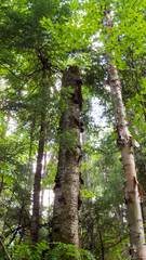 Vertical Photo - Tall trees from the Massif du Sud in the Province of Quebec, Canada.